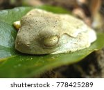white wild frog do hibernation... | Shutterstock . vector #778425289