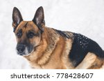 german shepherd spending time... | Shutterstock . vector #778428607