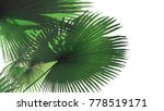 fan shaped green leaves with... | Shutterstock . vector #778519171
