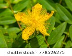Small photo of Aaron's beard, Hypericum calycinum, great St. John's wort, Jerusalem star