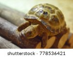 Stock photo young horsefield tortoise 778536421