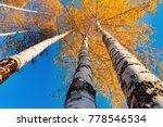 Smooth Trunks Of White Birch...