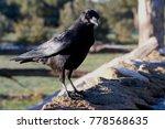 carrion crow. corvus corone | Shutterstock . vector #778568635