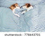two dogs in bed. adorable jack... | Shutterstock . vector #778643701