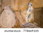 a watchful meerkat suricata... | Shutterstock . vector #778669105