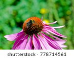 Coneflower With Bumblebee ...
