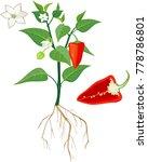 flowering sweet pepper plant... | Shutterstock .eps vector #778786801