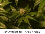 unripe sage variety of medical...   Shutterstock . vector #778877089