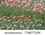spring field of blooming red... | Shutterstock . vector #778877209