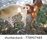 thai ridge back dog breeding in ... | Shutterstock . vector #778907485