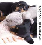 Stock photo british kitten rare color lilac and puppies dachshund 77896876