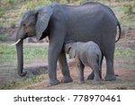cow of african savanna... | Shutterstock . vector #778970461