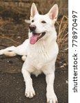 white belgian shepherd dog... | Shutterstock . vector #778970497