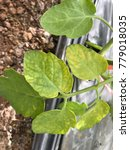 Small photo of Leaf tomato deficiency nutrients.