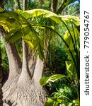 Small photo of Marrakech, Morocco - April, 2009: Jardin Majorelle garden - a powerful tropical forest tree with a shagreen bark