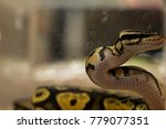 snake is crawl in the cage. | Shutterstock . vector #779077351