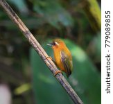 Small photo of White-browed Piculet, a small woodpecker, perching and looking for food in Asian tropical rainforest at Taksin maharaja national park, Thailand. Lovely wild animal with nature green background.