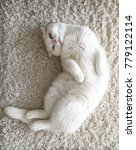 Stock photo white british scottishfold cat lie on his back on the carpet on the floor and look up 779122114