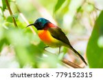 Small photo of Colorful Bird,Green-tailed sunbird ( Aethopyga nipalensis)
