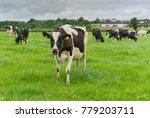 friesian cows grazing in a... | Shutterstock . vector #779203711