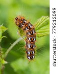 Small photo of Knot Grass (Acronicta rumicis) - larva