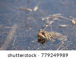 Small photo of American toad resting on the bottom of a shallow area of a lake during mating season.