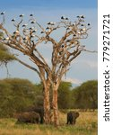 white storks in africa are... | Shutterstock . vector #779271721