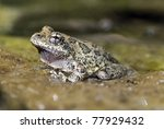 a california tree frog ... | Shutterstock . vector #77929432