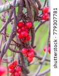 schisandra chinensis  common... | Shutterstock . vector #779307781