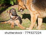 Stock photo german shepherd puppy playing with his mother 779327224