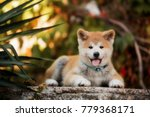 Puppy Of Red New Year's Akita...