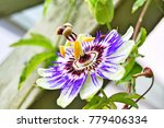 Passion Flower From Denmark