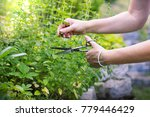 Small photo of woman collects herbs, collect oregano using scissors, organic herbal garden