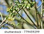 "kapok "" or  white silk cotton... | Shutterstock . vector #779459299"