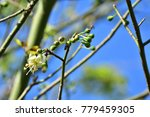 "kapok "" or  white silk cotton... | Shutterstock . vector #779459305"