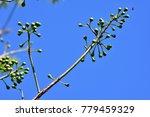 "kapok "" or  white silk cotton... | Shutterstock . vector #779459329"