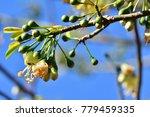 "kapok "" or  white silk cotton... | Shutterstock . vector #779459335"