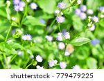 ageratum conyzoides  goat weed  ... | Shutterstock . vector #779479225