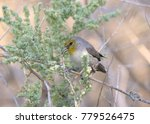 Small photo of Verdin (penduline tit)