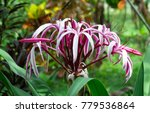 A Large Spider Lily  Crinum Sp...