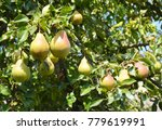 pears  planting  growing  and... | Shutterstock . vector #779619991