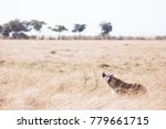 hyena in masai mara national... | Shutterstock . vector #779661715