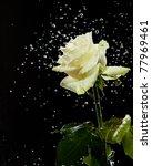 White Rose In Water Splashes O...