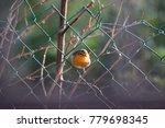 robin  erithacus rubecula  on a ... | Shutterstock . vector #779698345