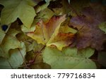fallen leaves of maple. golden... | Shutterstock . vector #779716834