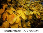 yellowed pear tree leaves in... | Shutterstock . vector #779720224