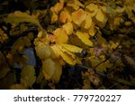 yellowed pear tree leaves in... | Shutterstock . vector #779720227