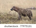 a spotted hyena on the plains... | Shutterstock . vector #77975131