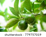 close up of green limes on the... | Shutterstock . vector #779757019