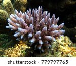 Small photo of coral reef type Acropora gemmifera purple